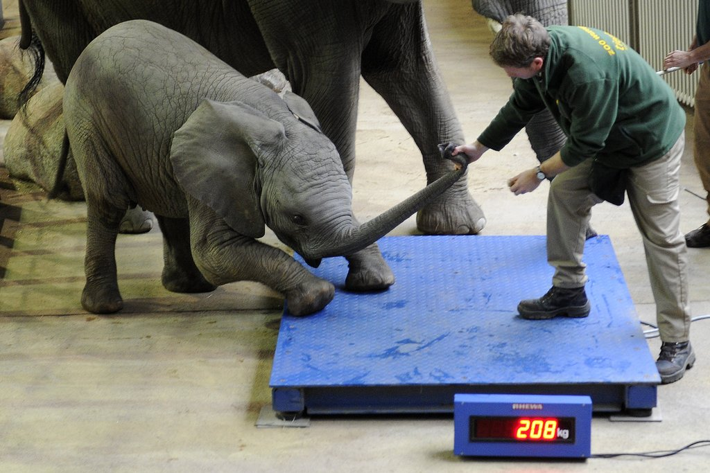 Perhaps remorseful about his holiday overindulgence, baby elephant Uli seems reluctant to step on the scale at Germany's Wuppertal Zoo.