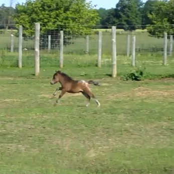 Baby Miniature Horse Frolicking (Video)