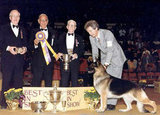 Surprisingly, German shepherd Ch Covy Tucker Hill's Manhattan is the only representative of his breed to win best in show (he did so in 1987). Source: American Kennel Club Archives
