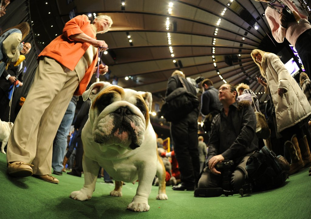 This Bulldog waits for his turn in the ring.