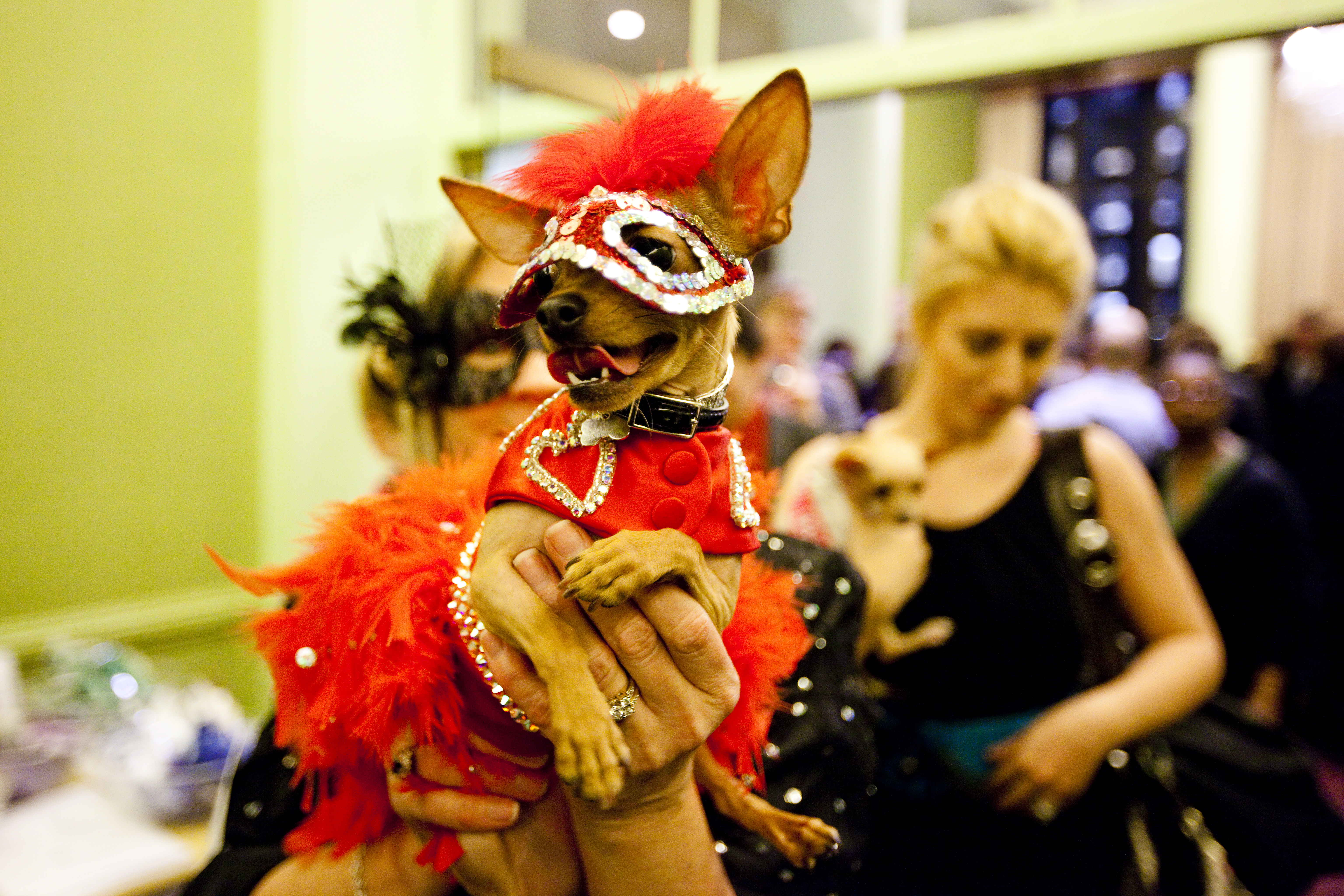 Dixie Belle may be a nursing home volunteer dog, but she's just as glamorous as the show dogs!