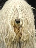 Peering through layered locks, Komondor Raaza is prepped and ready.