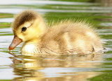 A duckling takes a dip. Source: Flickr User Mostly Dans