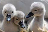 Spring swan babies, otherwise known as cygnets. Source: Getty
