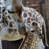 Baby Rothschild Giraffe Debuts at Leipzig Zoo