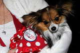 Sophia and her human companion attend a Las Vegas campaign rally for Newt Gingrich and dressed up for the occasion!