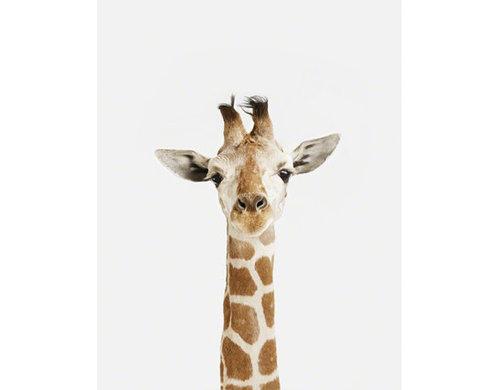 Baby Giraffe Close-up