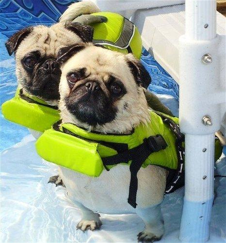 Pug Lifejacket