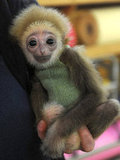 This gibbon's got knit wit.
