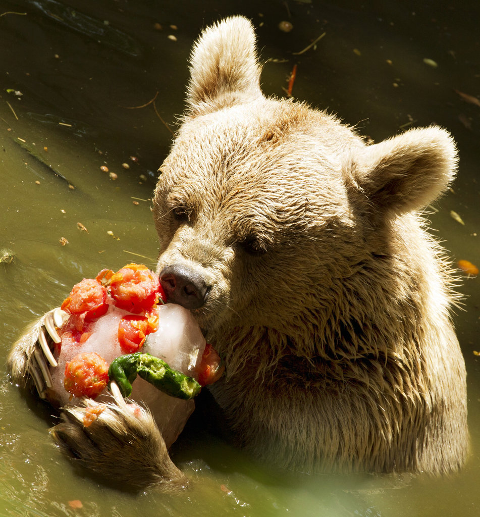 At Ramat Gan Safari near Tel Aviv, a Syrian brown bear uses a dual-pronged attack on overheating: gnawing on a frozen fruit pop while cooling off in the pool.