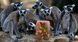 A group of ring tailed lemurs hold a block party around this slab of flavored ice in Tel Aviv.