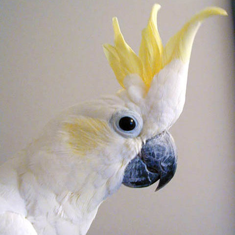 Stylin' Cockatoo