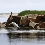 Chincoteague Pony Swim 2012 | Pictures