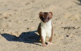 Summer Stoat