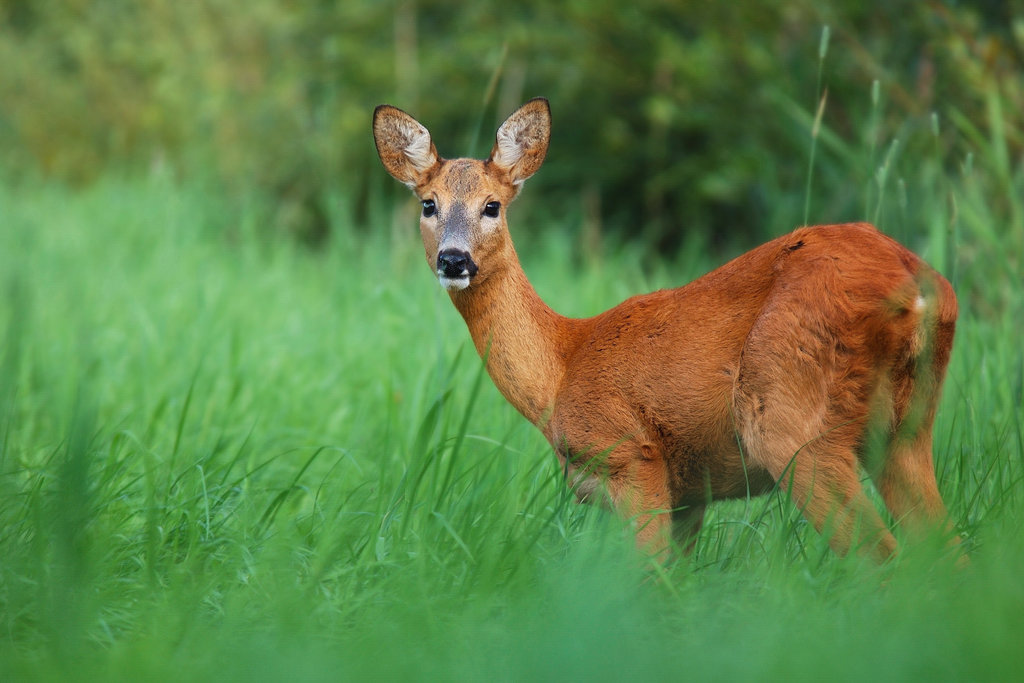 Summer Roe Deer
