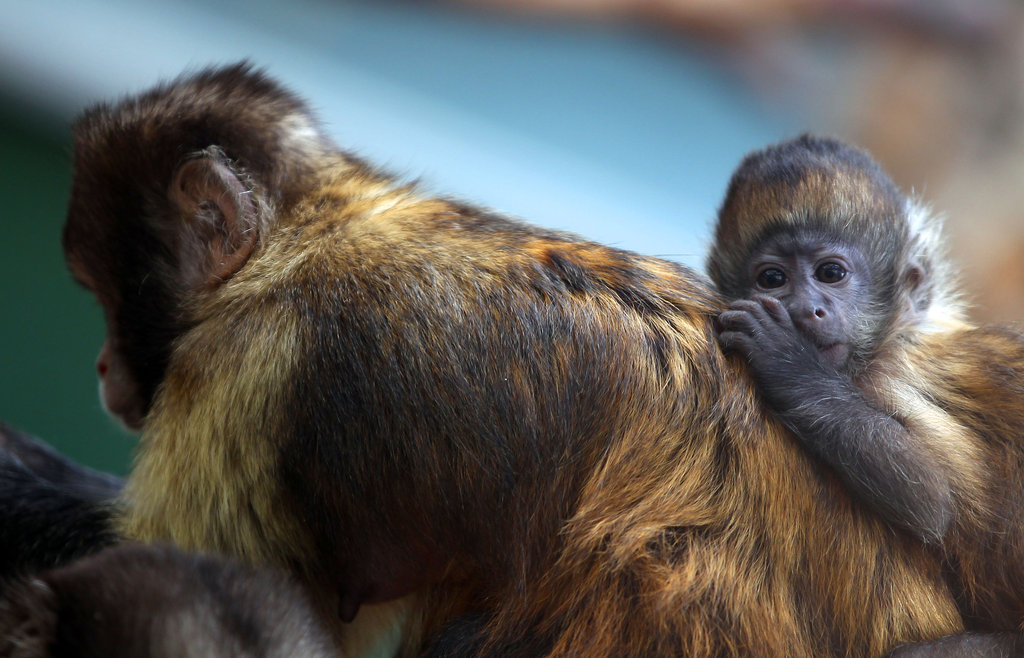 This adorable Capuchin monkey young'un totally has mom's back.