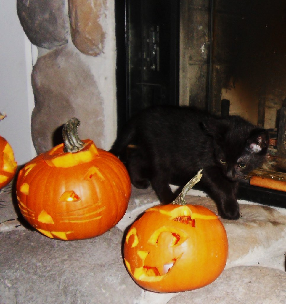 It can be unnerving when your human cuts a feline face into your pumpkin friends, but just remember that it's not real! Source: Flickr user www.metaphoricalplatypus.com