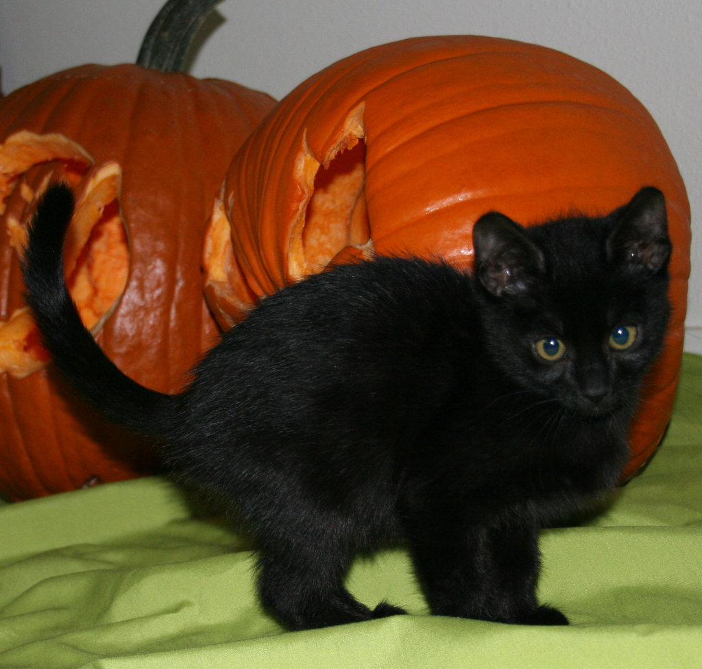 Yes, we black cats are closely associated with Halloween culture, but we're not the only ones who appreciate a good pumpkin! Source: Flickr user Sipris Swan