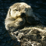 Sea Otters 101: 7 Reasons to Love These Playful Creatures