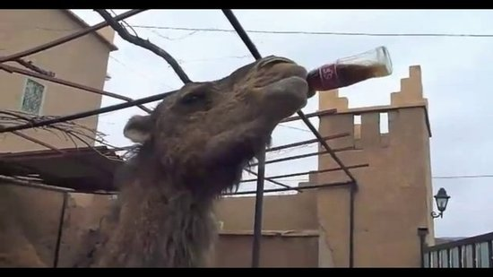 Camel Drinks a Bottle of Coca-Cola