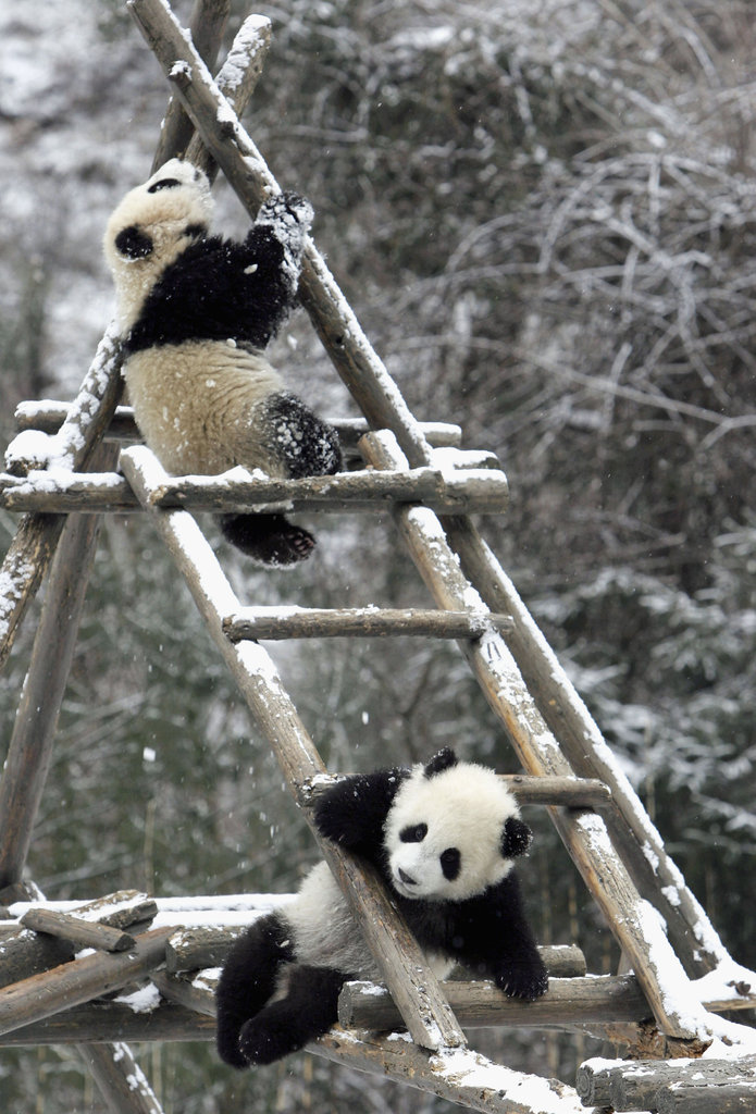 It was a game of chutes and ladders for these two giant pandas in Wolong National Nature Reserve in China.