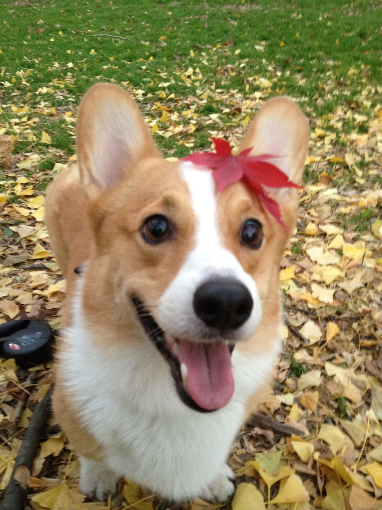 ShopStyle Content Coordinator Mami Noguchi's Corgi, Mocha, wore the perfect Fall accessory.