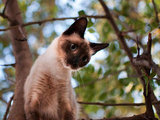 Known for their vocal abilities, Siamese cats make a variety of noises to communicate their desires and needs to human companions. Although not considered to be a highly affectionate breed, Siamese cats are very intelligent and can be taught to fetch and to understand simple commands. Source: Flickr user FreddieBrown