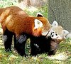 Cuddly Baby Red Panda's First Spotting After Birth (PHOTOS)