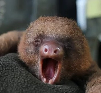 Yawning  Baby  Sloth  Put  Big  Smile  Your  Face VIDEO