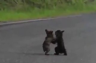 Cute Baby Bears Wrestling (VIDEO)