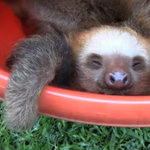 Cute Animal Video of the Day: Bucket of Sloths!