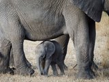 Young Elephant and Mother