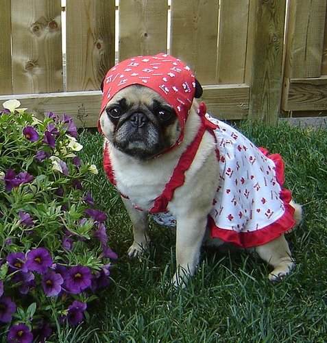 Cute Pug Dressed Up