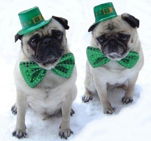 Pugs St. Patrick's Day