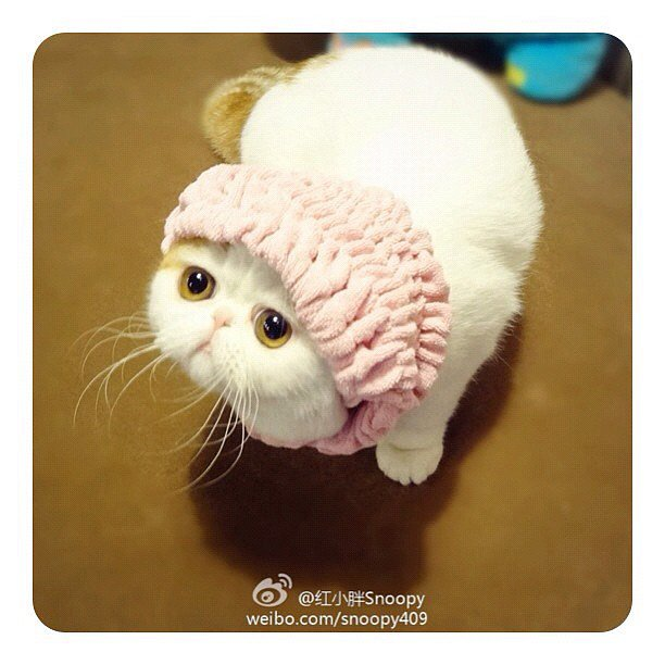 This Exotic Shorthair is a cartoon character. No, really. I think this entire account is CGI. Source: Instagram user snoopybabe