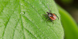 Dog Days of Summer: How to Remove a Tick