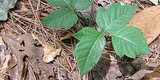 Defeat Poison Ivy With Tea Tree Oil