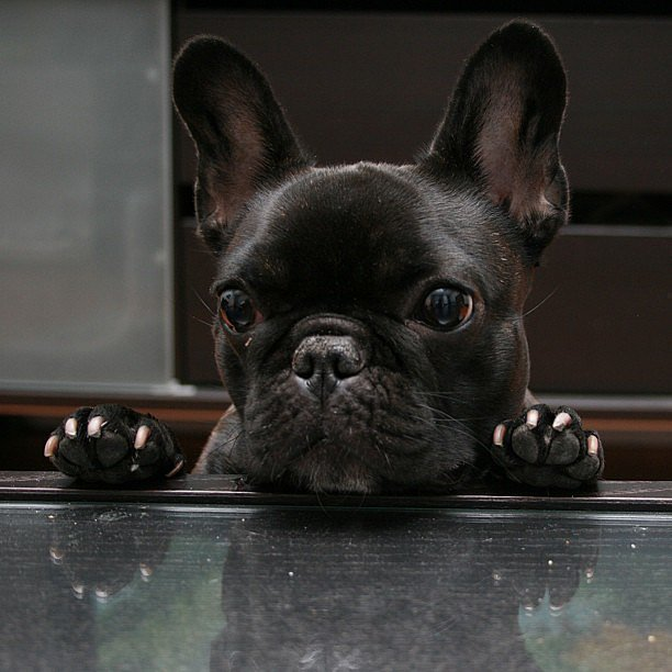 French Bulldog Yoko is a small pup in the Big Apple, and his hobbies include yoga. Source: Instagram user yo_yoko