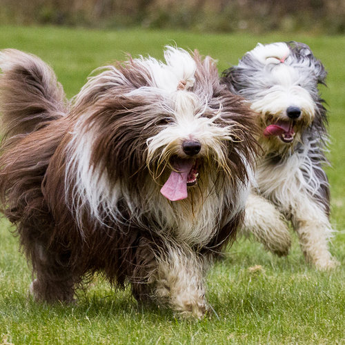 10 Most Expensive Dog Breeds