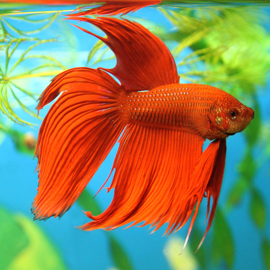 Betta fish facts popsugar pets for Betta fish habitat