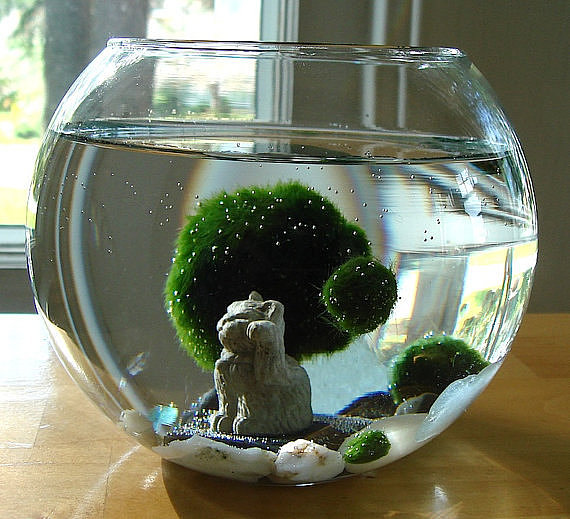 Marimo Balls and Cat