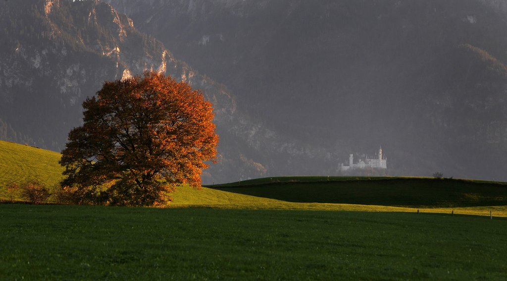 An orange tree stood on its own in Southern Germany near Neuschwanstein Castle.