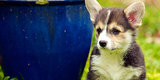 Pembroke Welsh Corgis Potentially Endangered and the Planet Panics