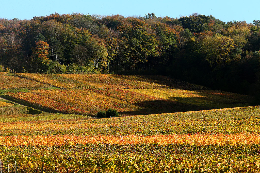 In eastern France, the vineyards changed colors after the autumn harvest.