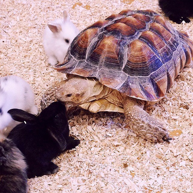 Hen and the Tortoise