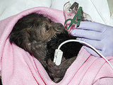 Baby Gorilla Born via C-Section Recovering at San Diego Zoo
