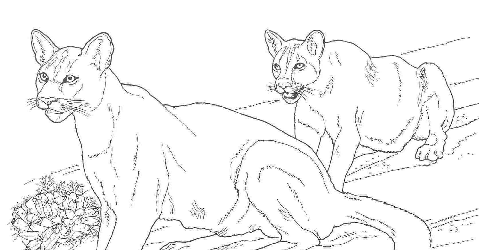 realistic mountain lion coloring pages-#5