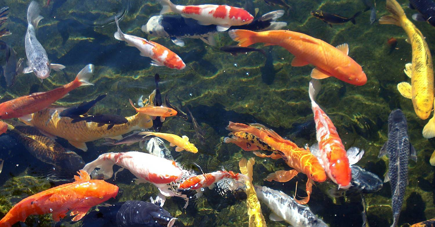 Koi fish download packsmixe for Koi pond supply of japan
