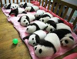 Baby Pandas Napping