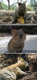 Quokka: The Happiest Animal on Earth